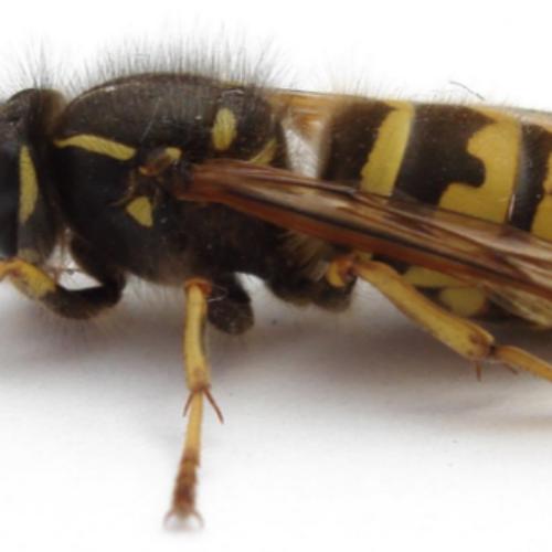 Powerful Wasp Robots