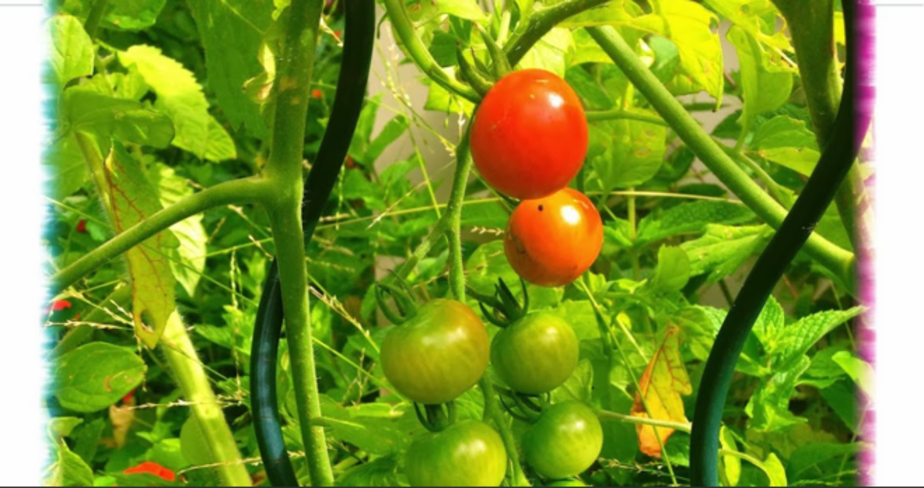 Say Hello to The Tomato Picking Robots