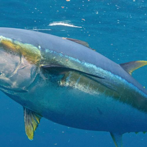 Meet Tunabot, the First Robotic Fish to Keep up with a Tuna